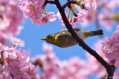 Japanese White Eye on a Pink Cherry Blossom Tree (Shubhashish Chakrabarty) Tags: pink japan 桜 cherryblossom 日本 yokohama 横浜 mejiro 春 ピンク めじろ kawazuzakura