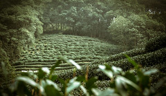 Green - Hangzhou, China (, ) (dlau Photography) Tags: life china trip travel vacation green nature weather tea outdoor sightseeing lifestyle style tourist valley hangzhou   visitor soe     widespread longjing
