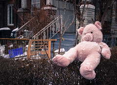 Livin' on the Hedge (Jay:Dee) Tags: snow toronto animal toy pig photo stuffed walks alone village saturday hedge discarded seaton scramble unloved topw topwsvss
