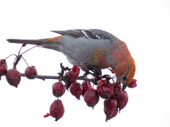 Finally, a bird who eats crabapples! (diffuse) Tags: male bird backyard crabapple pinegrosbeak 16feb13
