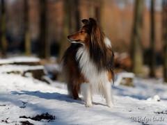 Fiona (TheNakamo) Tags: dog sheltie sheepdog shetland