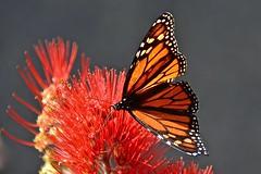 The Monarch Butterfly (Lynne Karen) Tags: newzealand flower butterfly auckland northshore monarchbutterfly overtheexcellence