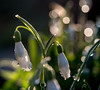 Snowdrops after a day of heavy rain (Unni Henning) Tags: flowers england white water rain garden droplets spring blossom bulbs snowdrops warwickshire signofspring