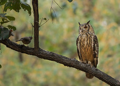 Indian Eagle Owl - Bubo bengalensis (Gary Faulkner's wildlife photography) Tags: mobbing indianbirds indianeagleowl