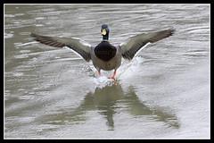 IMG_0075 Mallard (Scotchjohnnie) Tags: bird nature canon wildlife waterbird mallard waterfowl canoneos ornithology anasplatyrhynchos northeastengland canon7dmkii scotchjohnnie canonef100400f4556lisiiusm
