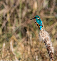9Q6A8545 (2) (Alinbidford) Tags: kingfisher brandonmarsh alancurtis alinbidford