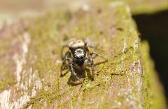 Jumpy Zebra Crop a (Procrustes2007) Tags: uk england spider suffolk britain wildlife arachnid sudbury closeuplens zebraspider salticusscenicus wildlifephotography greatcornard nikond90 afsnikkor1855eddx gridreftl883407 d90jumper