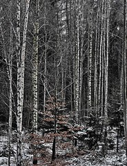 Birch trees in winter (heinrich_511) Tags: travel trees winter white snow forest landscape heart space visit pointofview thoughts birch eternity hl 1485mm nikond750 nearbytriergermany