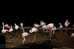 Flamingoes in the night (Stinkee Beek) Tags: nightsafari