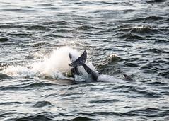 High Fin !! (Daveyal_photostream) Tags: ocean sea motion nature beautiful beauty animal animals outside outdoors movement nikon outdoor dolphin dolphins splash mammals fins d600 thewild nikor mycamerabag realnature mygearandme meandmygear