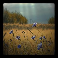 cornflowers (adam_dunikowski) Tags: sunlight field cornflowers