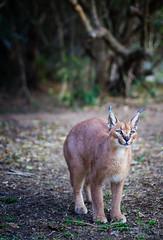 Sud Africa (mokyphotography) Tags: animal animals southafrica felini felines caracal sudafrica
