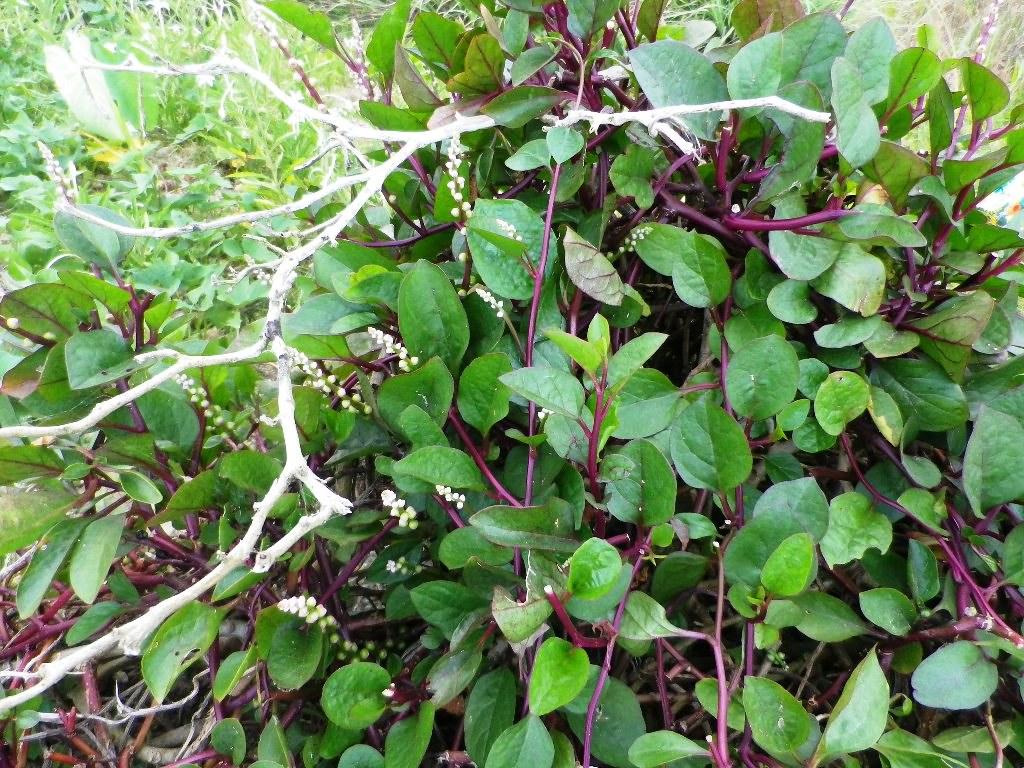 Uses and Health Benefits of Alugbati / Malabar Spinach