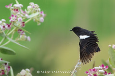 Pied bush chat (T@hir'S Photography) Tags: travel pink flowers bush chat getty pied istock wildflower
