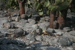 IMG_7624 (chupalo) Tags: cacti landiguana lavarocks islasplaza