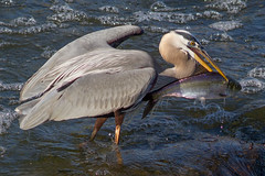 IMG_1301 Heron with Shad (cmsheehyjr) Tags: heron nature virginia wildlife richmond greatblueheron jamesriver floodwall ardeaherodias colemansheehy cmsheehy