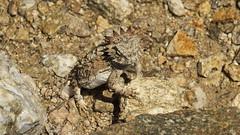 Horned lizard, Sabino Canyon (Distraction Limited) Tags: arizona nature tucson reptiles coronadonationalforest catalinamountains catalinas sabinocanyon phrynosoma santacatalinamountains regalhornedlizard phrynosomasolare hornedlizards hornedtoads earthnaturelife sabinocanyon20160413
