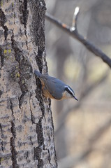 Red-breasted Nuthatch (scottolshanoski) Tags: birding saskatoon saskatchewan nuthatch redbreasted