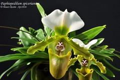 Paphiopedilum spicerianum (Mauro Rosim) Tags: orchid flower flor terrestre terrestrial slipper orqudea sapatinho