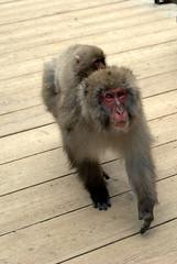 Piggie-back macaque (Kyle Horner) Tags: japanesemacaque kanbayashi snowmonkeyresorts