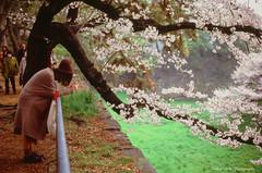 The cherry blossom in the Nagoyajo-Castle , Aichi pref,Japan :  (k385_haffner) Tags: castle contax velvia nagoya cherryblossoms velvia100 aria planar carlzeiss planar50mm