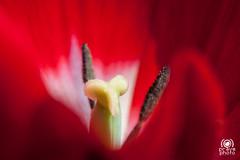 Red (andrea.prave) Tags: flowers red flower rot fleur yellow jaune rouge rojo flor amarillo gelb giallo tulip polen pollen  blume fiore rosso tulipe tulpe tulipano    tulipn       pistils polline  extensiontubes  pistilos pistilli