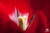 Red (andrea.prave) Tags: flowers red flower rot fleur yellow jaune rouge rojo flor amarillo gelb giallo tulip polen pollen 花 blume fiore rosso tulipe tulpe tulipano красный زهرة 花粉 tulipán 红 黄色 郁金香 チューリップ 赤 желтый pistils polline цветок extensiontubes 黄 pistilos pistilli тюльпан أحمر أصفر пыльца 雌蕊 雌しべ لقاح الخزامينبات пестики المدقات