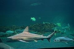 DSC03771 (emmanrog) Tags: animales marino acuario tiburn
