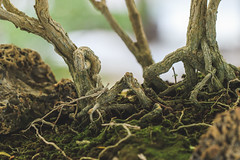 05 Multiple racines (StephanExposE) Tags: paris france tree nature canon garden jardin 100mm bonsai arbre iledefrance parc vincennes 600d parcfloraldeparis 100mmf28lmacroisusm stephanexpose
