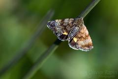 Premier papillon (Olivier Rapin) Tags: macro nature butterfly papillon tamron 90mm macrophotographie sonyalpha77