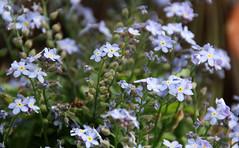 02-IMG_9874 (hemingwayfoto) Tags: balkon blau blume blte vergissmeinnicht blhen