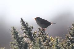 Wren (richardblackburn1974) Tags: bird north montrose wren esk kinnaber