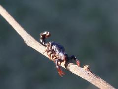 Escorpião (Rknebel) Tags: scorpion escorpião