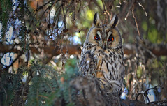 Once again European eagle-owl in my garden... at the same tree :-) (L.Lahtinen) Tags: bird nature animal garden spring eyes wildlife owl april nikkor luonto bubobubo birdlife lintu nikond3200 kevt europeaneagleowl pll sarvipll huuhkaja 55300mm