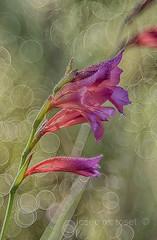 gladiolus italicus (Josep M.Toset) Tags: nikon catalunya gladiolus baixcamp bosc flors iridaceae cam fulles asparagales gladiol d7100 josepmtoset