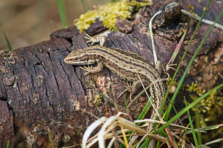 Common Lizard at Killylane  [Explore]