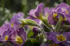 Frhling (moni0108) Tags: macro natur frhling morgentau