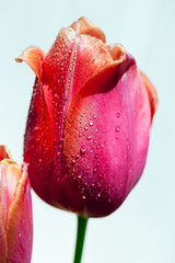 Tulip with water droplets (hz536n/George Thomas) Tags: copyright macro oklahoma nature water spring tulip april droplet canon5d stillwater tulipa 2016 cs5 georgethomas ef100mmf28lmacroisusm