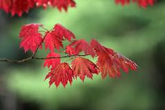 Vibrant (crafty1tutu (Ann)) Tags: autumn red orange plant colour tree fall leaves season leaf bright outdoor bluemountains depthoffield colourful mtwilson anncameron autumncolour naturethroughthelens crafty1tutu canon1dx canon70200mm28lserieslens