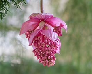 Rose Grapes
