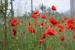 Poppy fields for ever... (Gisou68Fr) Tags: france fence alsace poppies clture coquelicots fencefriday