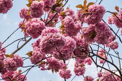 Cherry blossem (TresMariasinPie) Tags: city color nature germany deutschland photo amazing bonn image photos picture ciudad pic stunning fotografia altstadt imagen alemannia tresmariasinpie