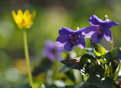 purple woodland flowers (Johnson Cameraface) Tags: spring olympus naturereserve april f28 em1 2016 yorkshirewildlifetrust ywt 1240mm sprotbroughflash micro43 mzuiko johnsoncameraface omde1