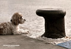Sometimes....loneliness is required. (Pat Eizaguirre) Tags: portrait dog pets dogs retrato perro perros mascotas petitbassetgriffon petitbassetgriffonvandeen patriciaeizaguirre pateizaguirre