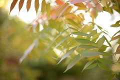 afternoon (gavingmb) Tags: autumn sunlight tree green leaves 50mm nikon bokeh australia canberra fx f12