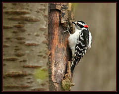 "> A downy hole in one >.< (Darrell Colby "" You Call The Shots "") Tags: ontario canada lunch woodpecker londonontario downey downeywoodpecker"