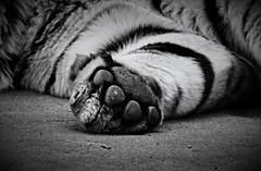 Big paw - Siberian tiger (Photography by Eric Hentze) Tags: white black nature animal cat deutschland grey zoo paw nikon outdoor tiger natur grau leipzig exotic bigcat tigre animalplanet schwarz animale tier pfote exoticcat sibiriantiger animalphotography carnivora weis sibirischertiger tierfotografie zooleipzig tiefenschrfe bigpaw samtpfote fleischfresser d7100 groskatze nikond7100