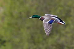 Mallard (GaseousClay1) Tags: bird nature wildlife mallard habitat avian anasplatyrhynchos plumage birdinflight pershore worcestershirewildlifetrust