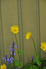 Against the Fence (Neal D) Tags: flowers flower fence bc surrey crescentbeach