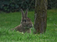 Rabbit Watch (Belinda Fewings (2.5 million views. Thank You)) Tags: street city colour rabbit bunny beautiful beauty animal out outside outdoors seaside arty artistic bokeh wildlife creative ears nat best depthoffield colourful lovely bunnyrabbit rspb beautify bbcspringwatch nationalgeographicwildlife panasoniclumixdmc pbwa creativeartphotograhy belindafewings